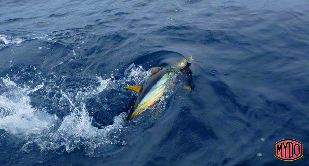 Yellowfin and yellowtail jump on the MYDO SS Yellowtail spoon